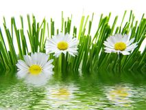 Daisies reflected in water royalty free stock photo