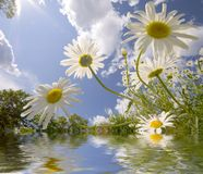 Daisies and reflection Stock Photos