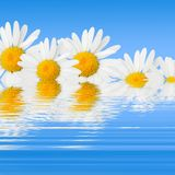 Daisies and reflection. Daisies against sky blue background and its reflection below Royalty Free Stock Photography