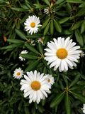 Daisies and rhodos. Daisies amongst rhodos Royalty Free Stock Photo