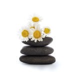 Daisies and river stones Stock Photography