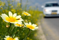 Daisies  on the road. Yellowy daisies on the road Royalty Free Stock Images