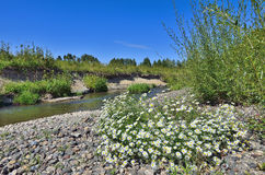 Daisies on the rocky banks of a small river Royalty Free Stock Image