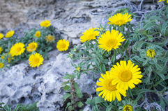 Daisies on rocky soil Stock Photos