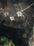 Daisies on a rotten tree stump Royalty Free Stock Photo