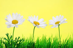 Daisies in a row. Daisies growing amongst artificial grass in a row Royalty Free Stock Photography