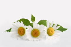 Daisies in a row on white background Stock Images