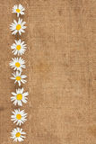 Daisies are on sackcloth Royalty Free Stock Photos