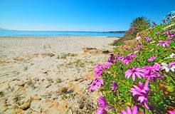 Daisies by the sea in Le Bombarde beach Royalty Free Stock Photo