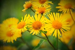 Daisies selvagens imagens de stock royalty free