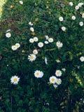 Daisies selvagens fotografia de stock