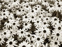 Daisies in sepia. Sepia daisy garden background Royalty Free Stock Photography
