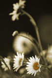 Daisies in sepia. Colored daisies and sepia background. Summer field royalty free stock photography