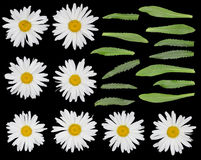Daisies set isolated on black Stock Image
