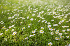 Daisies shivering on a light spring breeze on a sunny day. Daisy flowers field. Daisies shivering on a light spring breeze on a sunny day. White, yellow and royalty free stock image