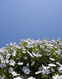 Daisies and sky Royalty Free Stock Photography