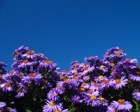 Daisies and sky Royalty Free Stock Photos