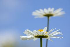 Daisies in the sky Royalty Free Stock Photos