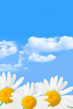 Daisies and sky Stock Images