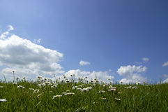 Daisies and Sky. Daisies in grass and blue Sky Royalty Free Stock Images