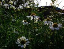 Daisies and sky Royalty Free Stock Photo