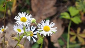 Daisies stock footage
