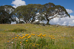 Daisies and snow gums. Summer daisies and snow gums on the Bogong High Plains, Victoria, Australia royalty free stock image