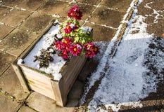 Daisies after a snowfall Royalty Free Stock Photo