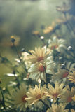 Daisies with soft filtered light Royalty Free Stock Photos