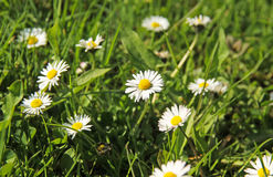 Daisies. Some nice white daisies growing in the grass in spring Stock Images