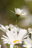 Daisies in spring Royalty Free Stock Photo