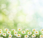 Daisies on spring background. Royalty Free Stock Images