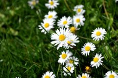 Daisies. Spring field with daisies close up stock photo
