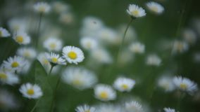 Daisies at spring. In the flower garden with a focus effect back and forth stock video footage
