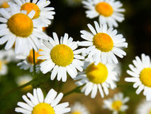 Daisies, spring flowers Royalty Free Stock Images