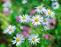 Daisies in spring garden Royalty Free Stock Images