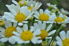 Daisies in Spring Royalty Free Stock Image
