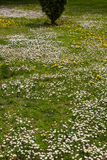Daisies in spring garden Royalty Free Stock Photography