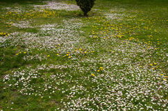 Daisies in spring garden Royalty Free Stock Image