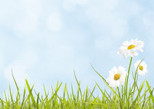 Daisies on spring meadow. Daisies and spring grass on blue sky stock images
