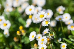 Daisies in spring in a green field Stock Photos