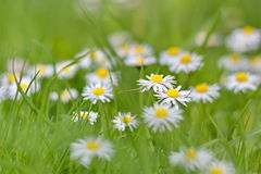 Daisies on spring meadow Stock Photos