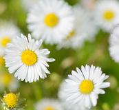 Daisies. In spring at the park stock photography