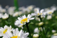 Daisies. Standard white daisies growing in Ukraine Stock Photography