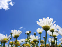 Daisies In Summer Royalty Free Stock Photos