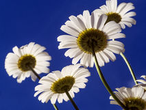 Daisies in the summer. Daisies against a blue summer sky Royalty Free Stock Images