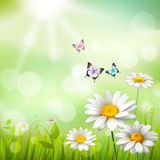 Daisies Summer Background. Summer meadow background with white daisy flowers and butterflies vector illustration Royalty Free Stock Images