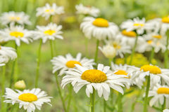 Daisies. Summer. Royalty Free Stock Photos