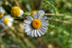 Daisies Royalty Free Stock Photos