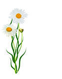 Daisies summer flower Stock Image
